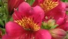 pink alstroemeria flower with orange inside