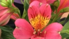 pink alstroemeria flower with yellow inside