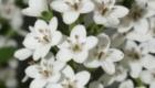 lysimachia elisabeth white