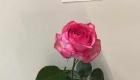 roses radish
