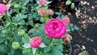 lysimachia flower